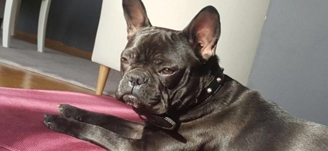 Bursa'da Kaybolan Kayıp Köpek Mira Uysal Her Yerde Aranıyor