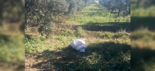 Koruma Ekipleri Zeytin Çalan Hırsızlara Geçit Vermiyor