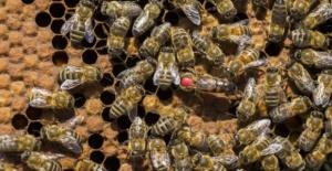 Kraliçe arıların tanesini 75 liradan satıyorlar